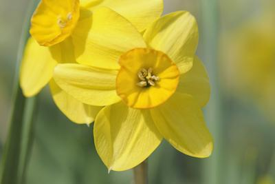 Yellow Daffodils by Cora Niele