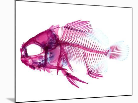 Coradion Fish--Mounted Photographic Print