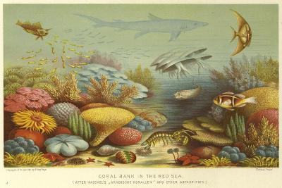 Coral Bank in the Red Sea--Giclee Print