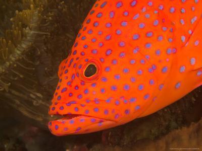 Coral Cod, Milne Bay, Papua New Guinea-Stuart Westmoreland-Photographic Print