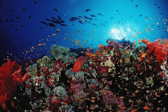 Coral Grouper and Reef, Cephalopholis Miniata, Sudan, Africa, Red Sea-Reinhard Dirscherl-Photographic Print