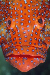 Coral Grouper, Close Up of Head