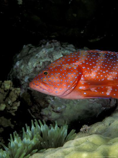 Coral Grouper-Michele Westmorland-Photographic Print