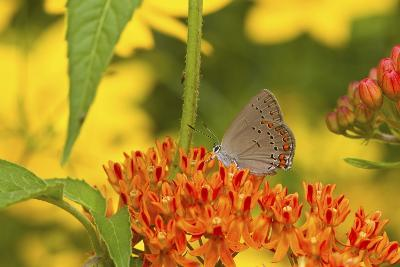 Coral Hairstreak Butterfly on Butterfly Milkweed, Marion Co., Il-Richard ans Susan Day-Photographic Print