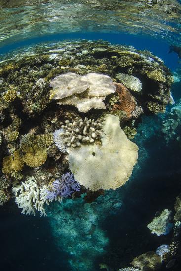 Coral Reef Diversity, Fiji-Pete Oxford-Premium Photographic Print