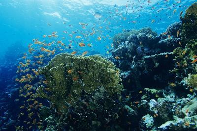 Coral Reef In the Red Sea-Alexis Rosenfeld-Photographic Print