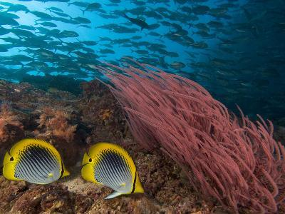 Coral Reef Scene with Schooling Jacks in the Background, Red Alcyonarian Corals-David Fleetham-Photographic Print