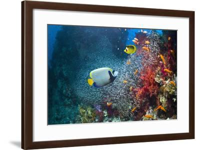 Coral Reef with Emperor Angelfish-Georgette Douwma-Framed Photographic Print