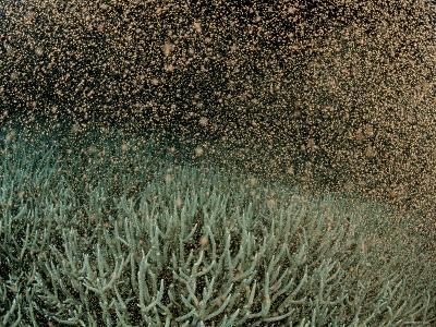Coral Spawning--Photographic Print