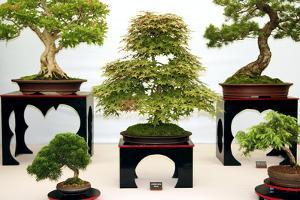 Bonsai Trees by Cordelia Molloy