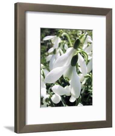 Snowdrop (Galanthus Nivalis) Flowers
