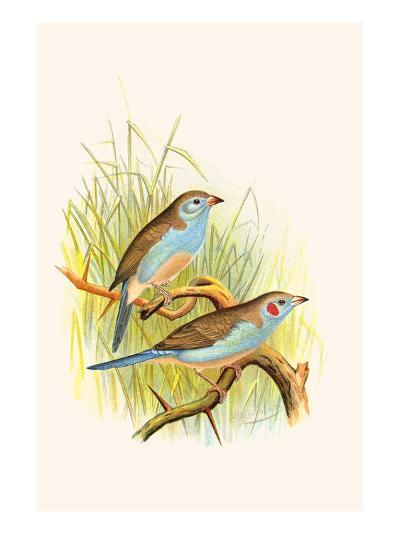 Cordon Bleu or Crimson Eared Waxbill-F^w^ Frohawk-Art Print