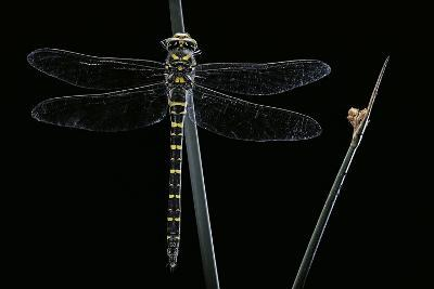 Cordulegaster Boltonii (Golden-Ringed Dragonfly)-Paul Starosta-Photographic Print