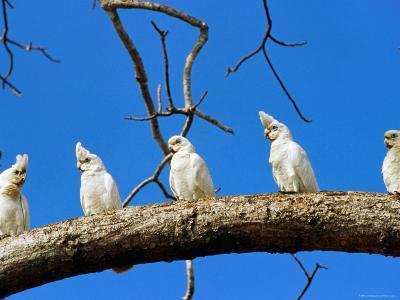 Corella Parrots on Branch, Kakadu National Park, Northern Territory, Australia-John Banagan-Photographic Print