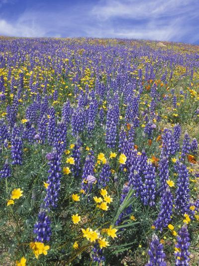 Coreopsis, Gilia, California Poppy and Lupine-Rich Reid-Photographic Print