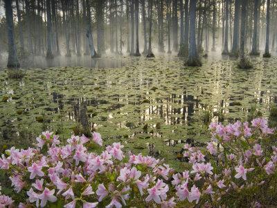 Bald Cypress Swamp in Fog, Cypress Gardens, Moncks Corner, South Carolina, USA