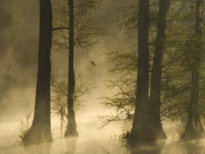 Bald Cypress Swamp in Fog, Cypress Gardens, Moncks Corner, South Carolina, USA by Corey Hilz