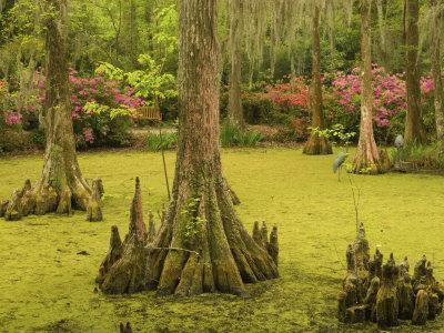 Bald Cypress Trees surrounded by Duckweed, Magnolia Plantation, Charleston, South Carolina, USA
