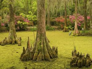 Bald Cypress Trees surrounded by Duckweed, Magnolia Plantation, Charleston, South Carolina, USA by Corey Hilz