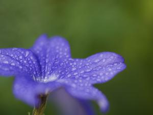 Blue Flower with Dew Drops, Brookside Gardens, Wheaton, Maryland, USA by Corey Hilz
