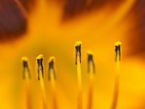 Closeup of day lily stamen, Arlington, Virginia, USA by Corey Hilz