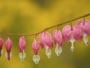 Closeup of pink bleeding hearts, Arlington, Virginia, USA by Corey Hilz
