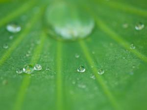 Dew Drops on Lotus Leaf, Kenilworth Aquatic Gardens, Washington DC, USA by Corey Hilz