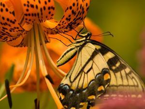 Eastern Tiger Swallowtail Butterfuly Feeding on Orange Tiger Lily, Vienna, Virginia, USA by Corey Hilz