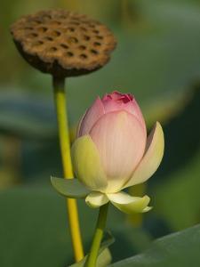 Lotus Blossom, Kenilworth Aquatic Gardens, Washington DC, USA by Corey Hilz