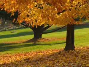 Maple Tree and Fall Foliage, Rock Creek Regional Park, Rockville, Maryland, USA by Corey Hilz