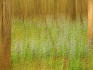 Multiple exposure of bluebells in the woods, Manassas National Battlefield Park, Virginia, USA by Corey Hilz