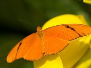 Orange Julia Longwing Butterfly, Brookside Gardens, Wheaton, Maryland, USA by Corey Hilz