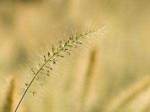 Ornamental Grass Head, Arlington, Virginia, USA by Corey Hilz
