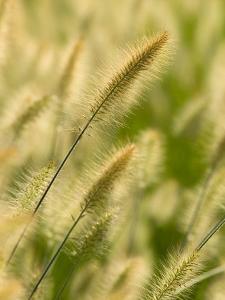 Ornamental Grass Heads, Arlington, Virginia, USA by Corey Hilz