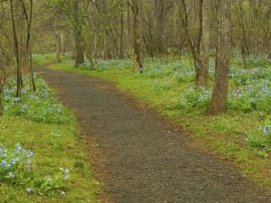 Path through woods filled with bluebells, Manassas National Battlefield Park, Virginia, USA by Corey Hilz