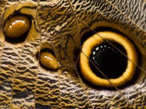 Pattern on Wing of Owl Butterfly, Brookside Gardens, Wheaton, Maryland, USA by Corey Hilz