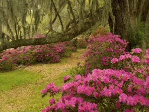 Pink Azaleas and Live Oaks, Magnolia Plantation, Charleston, South Carolina, USA by Corey Hilz