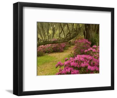 Pink Azaleas and Live Oaks, Magnolia Plantation, Charleston, South Carolina, USA