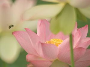 Pink Lotus With Bee, Kenilworth Aquatic Gardens, Washington DC, USA by Corey Hilz