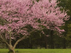 Redbud Tree in bloom, Manassas National Battlefield Park, Virginia, USA by Corey Hilz