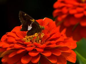 Silver Spotted Skipper Butterfly, Meadowlark Botanical Gardens, Vienna, Virginia, USA by Corey Hilz