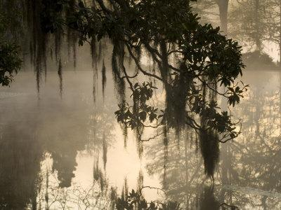Tree Branch and Spanish Moss, Magnolia Plantation, Charleston, South Carolina, USA