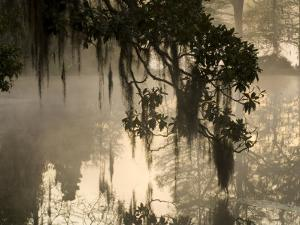 Tree Branch and Spanish Moss, Magnolia Plantation, Charleston, South Carolina, USA by Corey Hilz