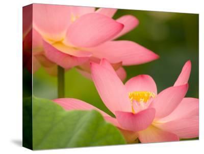 Two Pink Lotus Blossoms, Kenilworth Aquatic Gardens, Washington DC, USA