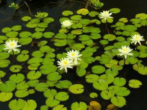 White Hardy Water Lilies, Kenilworth Aquatic Gardens, Washington DC, USA by Corey Hilz