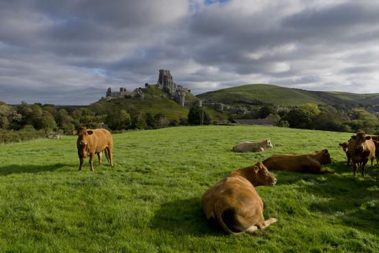 Corfe cows-Charles Bowman-Photographic Print