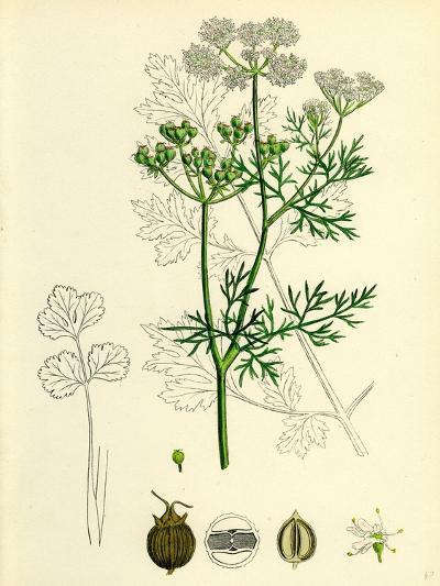 Coriandrum Sativum Common Coriander--Giclee Print