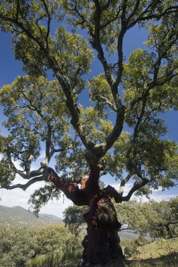 Cork Oak (Quercus Suber) Trees-Bob Gibbons-Photographic Print