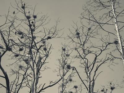 Cormorant Bird Colony on a Tree, Nida, Curonian Spit, Lithuania--Photographic Print