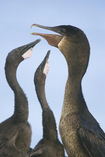 Cormorant Feeding Young-DLILLC-Photographic Print